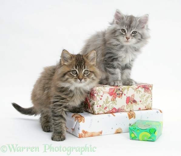 Maine Coon Kittens Sitting On Birthday Presents Photo WP19121