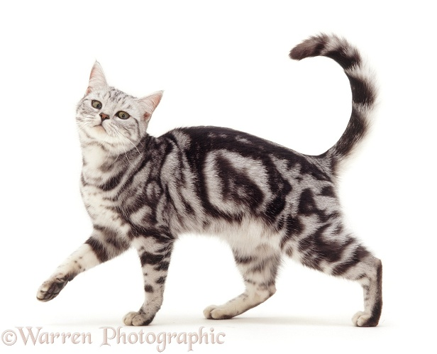 Silver tabby cat, Asphodel, 2 years old, white background