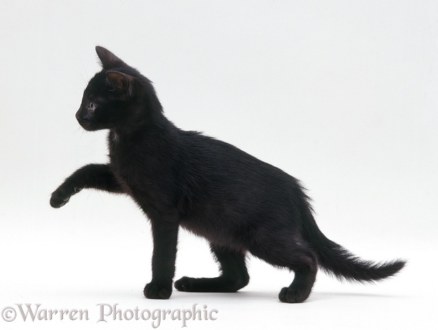 Black kitten (Tagor x Donna), 6�weeks�old, white background