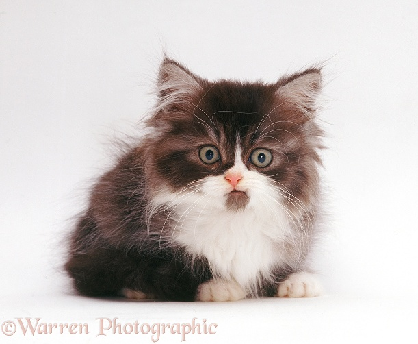 Tabby-and-white Persian-cross kitten (Cosmos x Millie Whitenose), white background