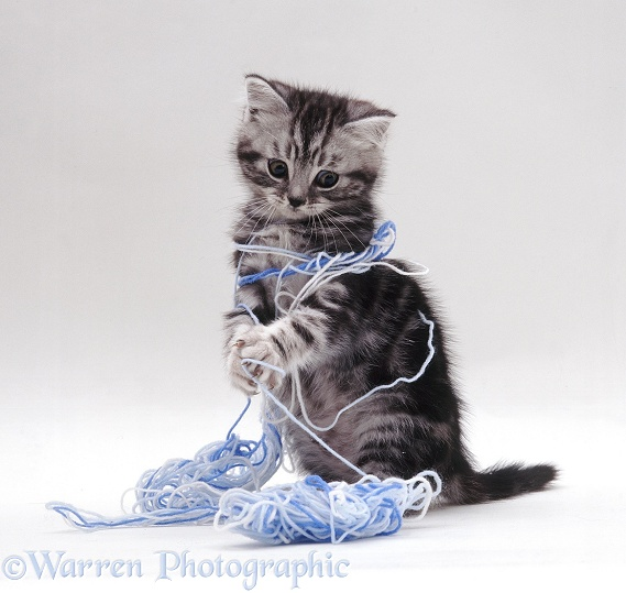 Silver tabby British Shorthair-cross kitten playing with blue wool, white background