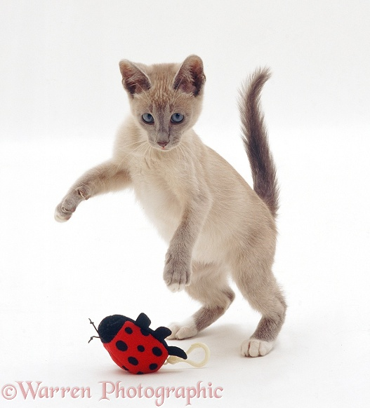 Lilac Tonkinese kitten pouncing string-pull ladybird toy, white background