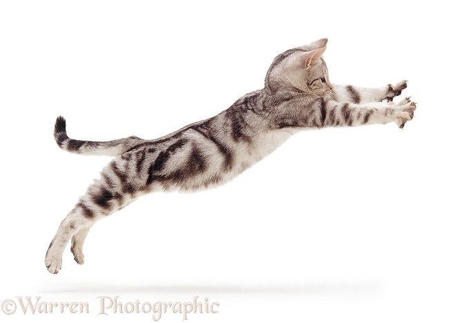 Silver tabby kitten, 4 months old, leaping with paws outstretched, white background