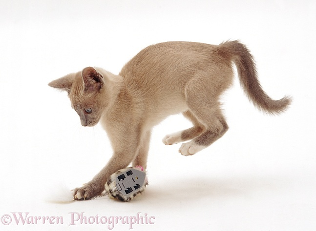 Lilac Tonkinese kitten pouncing a clockwork toy, white background