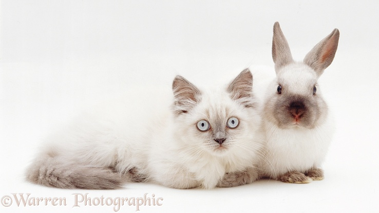 Colourpoint kitten, Scilla, with colourpoint Dwarf rabbit, white background