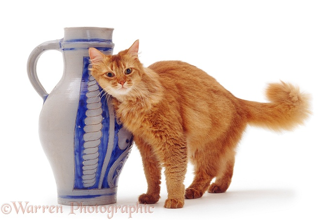 Chocolate Somali female cat, Annie, scent-rubbing against a blue vase, white background