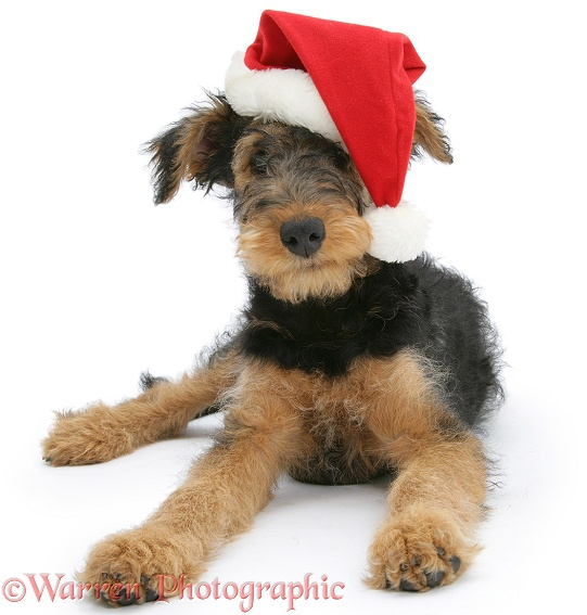 Airedale Terrier bitch pup, Molly, 3 months old, wearing a Father Christmas hat, white background