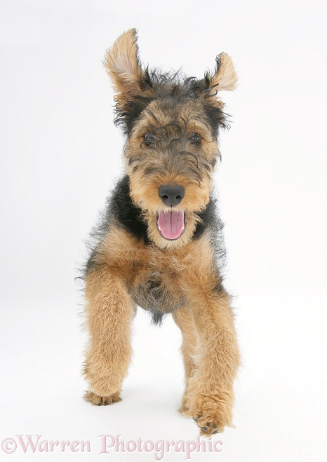 Airedale Terrier bitch pup, Molly, 3 months old, running forward, white background
