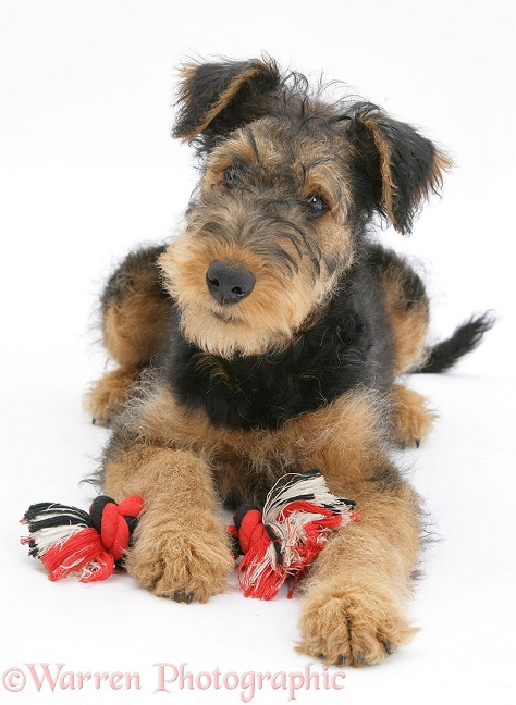 Airedale Terrier bitch pup, Molly, 3 months old, with ragger toy, white background