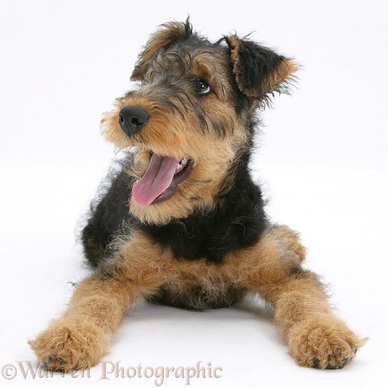 Airedale Terrier bitch pup, Molly, 3 months old, panting, white background