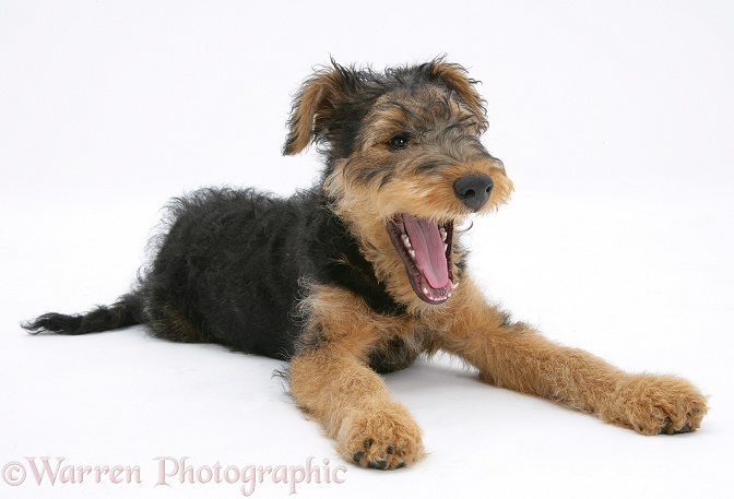 Airedale Terrier bitch pup, Molly, 3 months old, yawning, white background