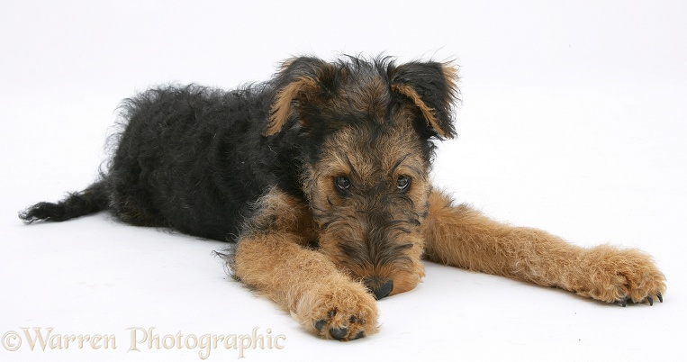 Airedale Terrier bitch pup, Molly, 3 months old, white background