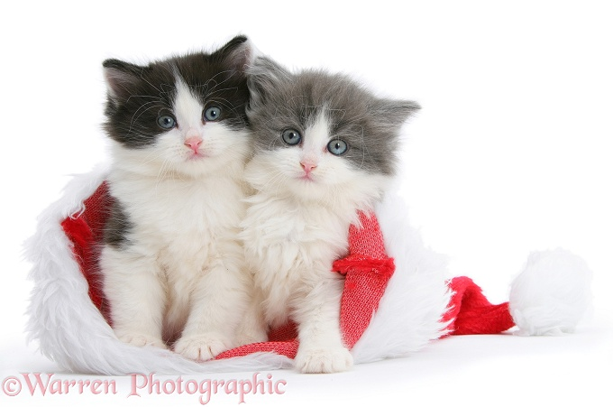 Black-and-white and grey-and-white kittens in a Father Christmas hat, white background