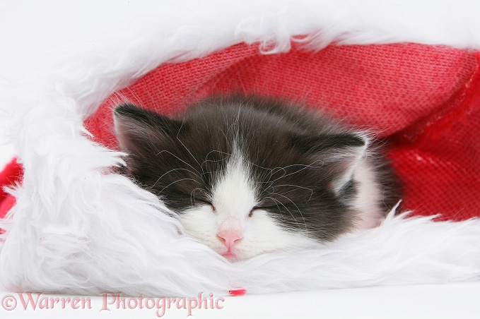 Black-and-white kitten asleep in a Father Christmas hat, white background