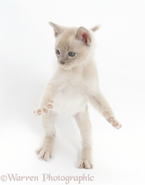 Burmese kitten, 7 weeks old, reaching up, white background