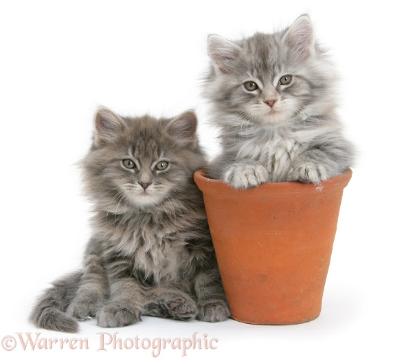 Maine Coon kittens playing in a terracotta flowerpot, white background