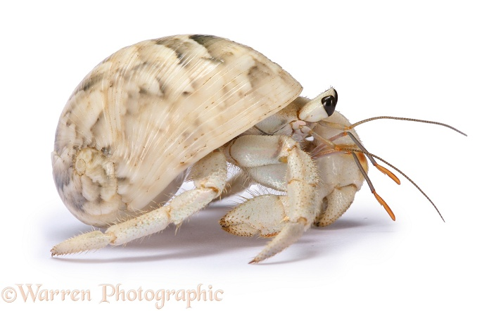 Land hermit crab (Coenolita species), southern Madagascar, white background