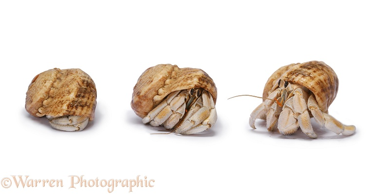 Land hermit crab (Coenolita species) emerging cautiously, southern Madagascar, white background