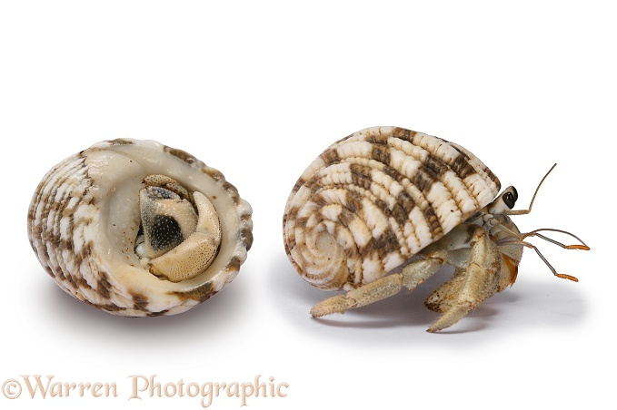Land hermit crab (Coenolita species) withdrawn and emerging, southern Madagascar, white background
