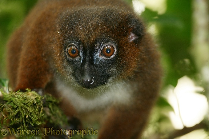 Red-bellied Lemur (Eulemur rubriventer) female.  Madagascar