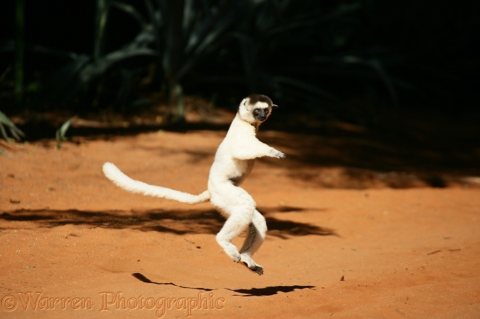 Verreaux's Sifaka (Propithecus verreauxi) bounding on hind legs to cross open ground.  Madagascar