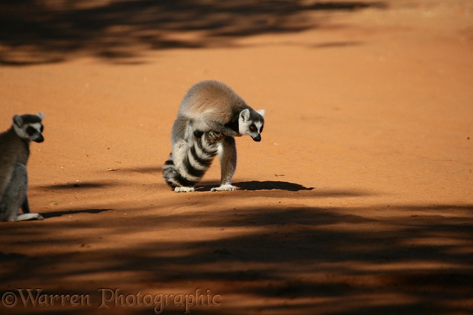 Ring-tailed Lemur (Lemur catta) male scent-marking his tail using glands on the insides of his forearms