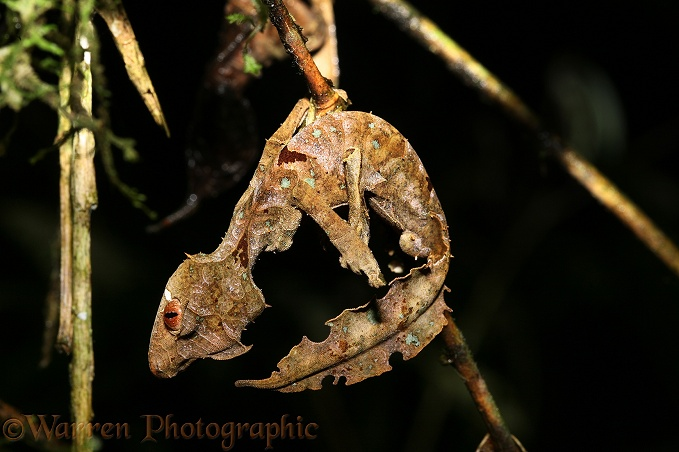 Leaf Gecko (Uroplatus phantasticus) hanging like a dead leaf in perfect camouflage.  Madagascar