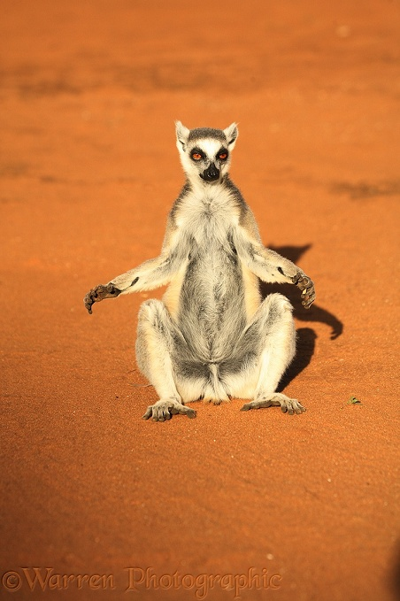 Ring-tailed Lemur (Lemur catta) basking in early morning sun showing scent glands on forearms.  Madagascar