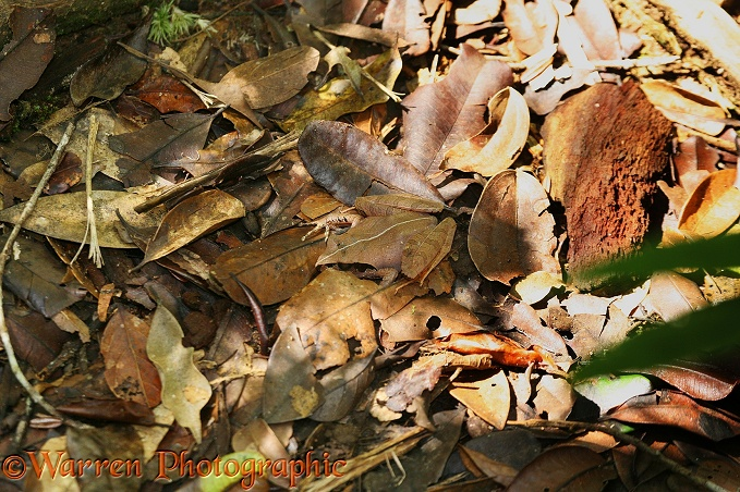 Frog (Aglyptodactylus species) camouflaged on the forest floor.  Madagascar