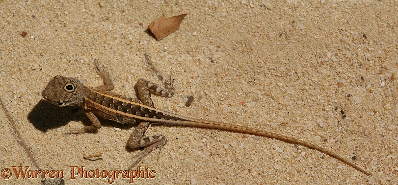 Three-eyed Iguanid Lizard (Chalaradon madargascariensis)