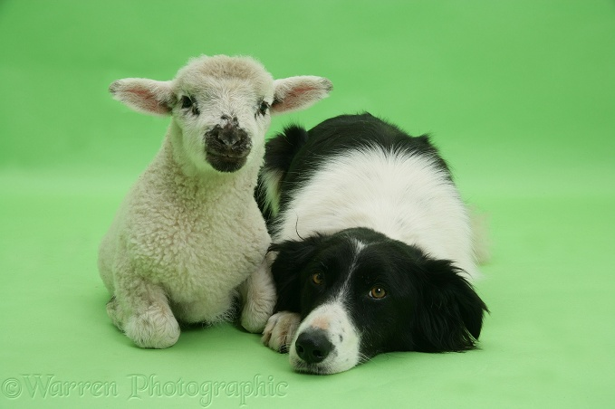 Lamb and black-and-white Border Collie, Phoebe, on green background