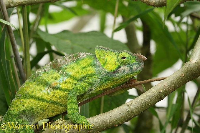 Chameleon (Calumma species). Madagascar