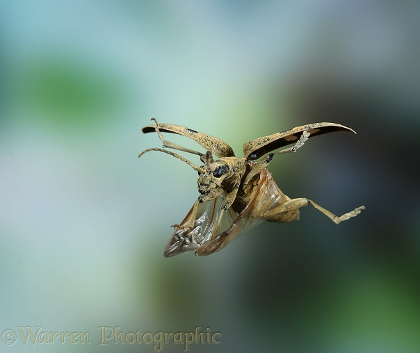 Wood Boring Beetle (Rhagium mordax) female in flight