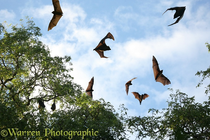 Madagascar Flying Foxes (Pteropus rufus) at roosting site