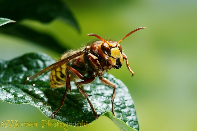 Queen Hornet