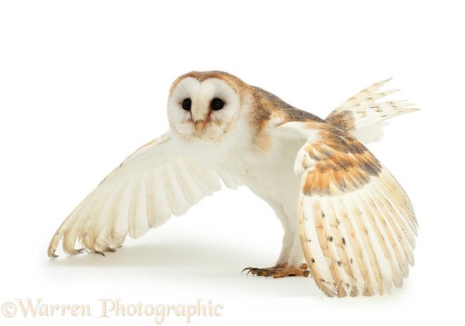 Barn Owl (Tyto alba) female, defensive posture.  Worldwide, white background