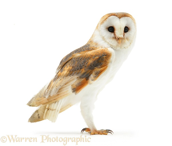 Barn Owl (Tyto alba).  Worldwide, white background