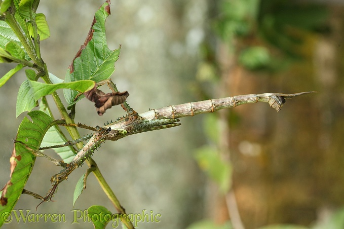 Stick insect (unidentified). Madagascar