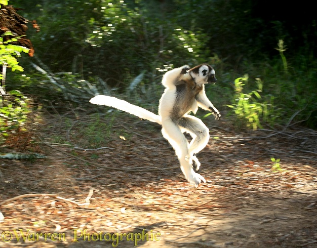 Verreaux's Sifaka (Propithecus verreauxi) caught by the early morning sun as it bounds across a forest ride on its long hind legs. Madagascar