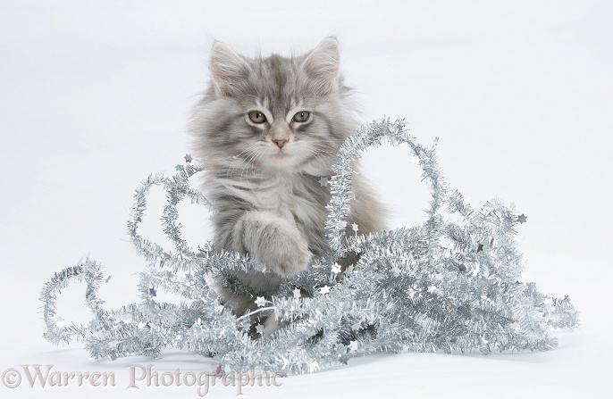 Maine Coon kitten, 8 weeks old, with tinsel, white background