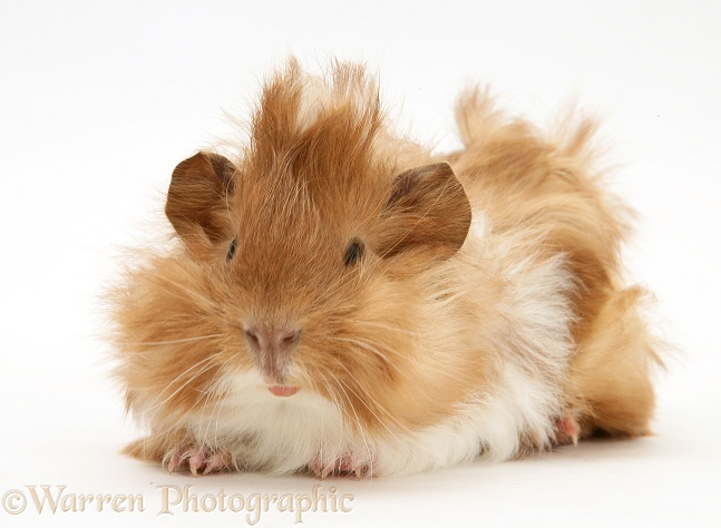Bad-hair-day Guinea pig, white background