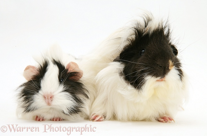 Black-and-white bad-hair-day Guinea pigs, white background