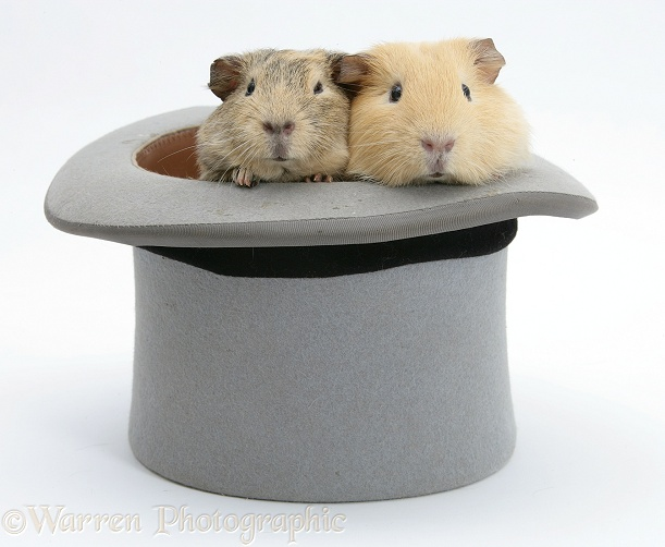 Guinea pigs in a top hat, white background