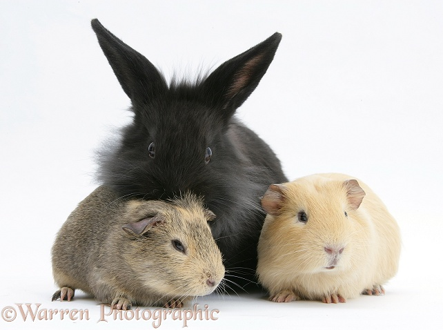 Black Lionhead-cross rabbit with Guinea pigs, white background