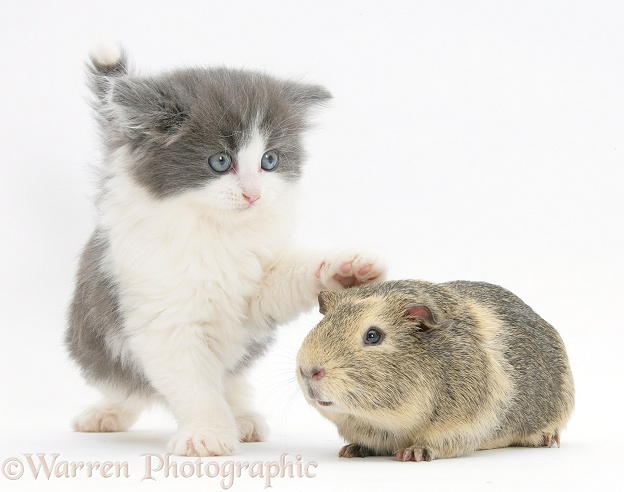 Grey-and-white kitten with a Guinea pig, white background