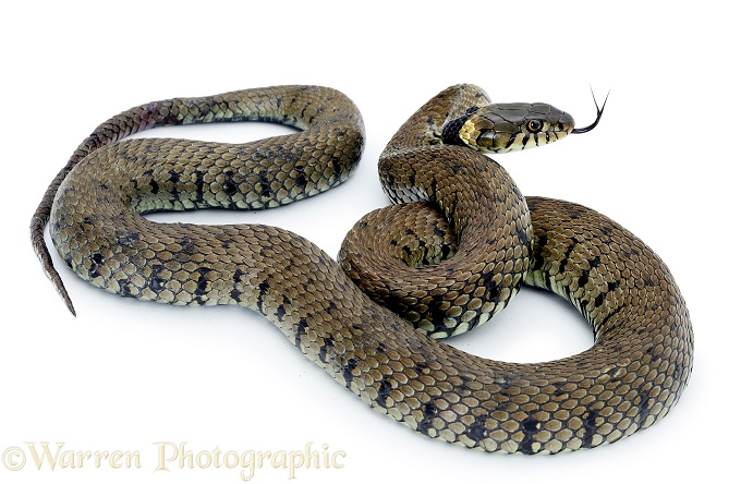 Grass Snake (Natrix natrix).  Europe, white background