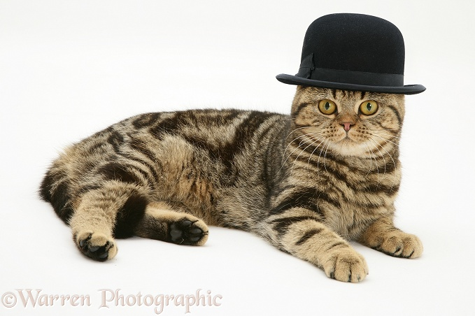 British Shorthair brown tabby cat, Tiger Lily, wearing a bowler hat, white background