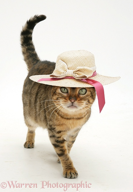 Brown Spotted Bengal female cat, Rasha walking along with a straw hat on, white background