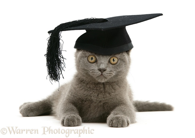 British Shorthair blue kitten, Taz, wearing a mortar board hat, white background