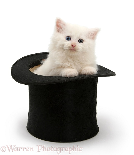 White Maine Coon kitten in a top hat, white background